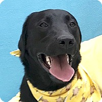 Adopt A Pet :: Shadow - Evansville, IN