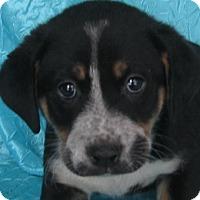 Labrador Retriever/Hound (Unknown Type) Mix Puppy for adoption in Cuba, New York - Cookie Joyride