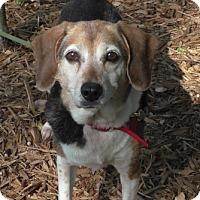 Adopt A Pet :: Annie IV - Tampa, FL