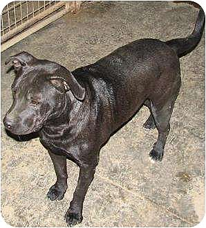Labrador Retriever/Pit Bull Terrier Mix Dog for adoption in Poland, Indiana - Tootsie