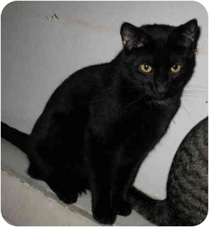 Domestic Shorthair Cat for adoption in Cincinnati, Ohio - Purr-cy