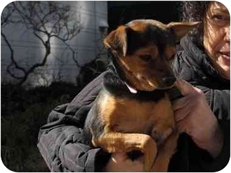 Miniature Pinscher/Chihuahua Mix Dog for adoption in Long Beach, New York - Cherry
