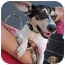 Photo 1 - Rat Terrier Mix Dog for adoption in Alexandria, Virginia - Colin
