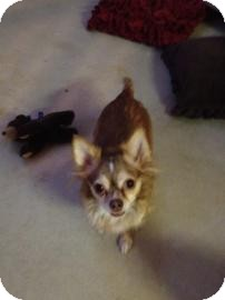 Chihuahua Mix Dog for adoption in Tucson, Arizona - Foxy