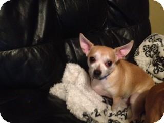 Chihuahua Dog for adoption in Greensboro, Georgia - Brownie