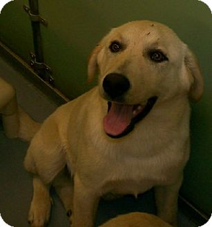 Labrador Retriever Mix Puppy for adoption in Richmond, Virginia - Ranger