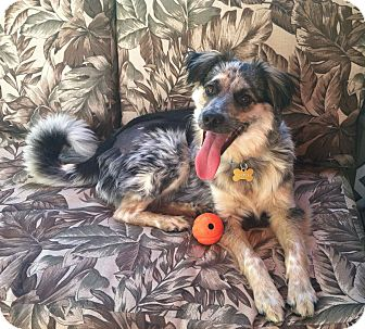 Australian Shepherd Mix Dog for adoption in Minneapolis, Minnesota - Balkan