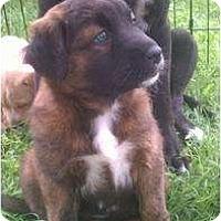 Adopt A Pet :: Mocha - Justin, TX