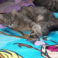 Domestic Longhair Cat for adoption in Benton, Pennsylvania - Rosie