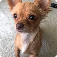 Adopt A Pet :: Gabby - AUSTIN, TX