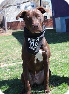 Retriever (Unknown Type) Mix Puppy for adoption in Shelburne, Vermont - Denver