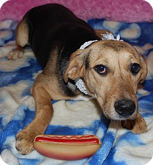 Shepherd (Unknown Type)/Labrador Retriever Mix Puppy for adoption in Waupaca, Wisconsin - Osiris