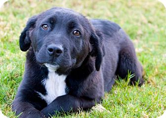 Labrador Retriever Mix Dog for adoption in Laredo, Texas - Roxie