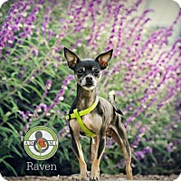 Adopt A Pet :: Raven - Oceanside, CA