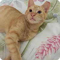 Domestic Mediumhair Kitten for adoption in West Palm Beach, Florida - Simba