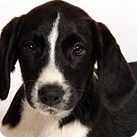 Adopt A Pet :: Stella BCHound - St. Louis, MO