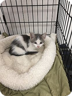 Domestic Shorthair Kitten for adoption in Tehachapi, California - Orchid