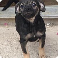 Pug/Dachshund Mix Puppy for adoption in Tucson, Arizona - Abra's pup Charmander