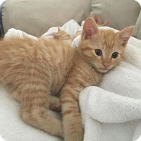 Adopt A Pet :: Purrcival - Wilmington, NC