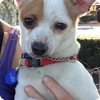 Jack Russell Terrier/Chihuahua Mix Dog for adoption in Santa Monica, California - Marshmallow