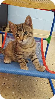 Domestic Shorthair Kitten for adoption in Circleville, Ohio - Robin
