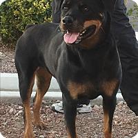 Rottweiler Dog for adoption in Las Vegas, Nevada - JoJo