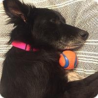 Adopt A Pet :: Sloane - Los Angeles, CA