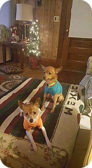 Chihuahua Mix Dog for adoption in Elyria, Ohio - Tito and Lola