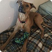 Adopt A Pet :: Hayley - Minneapolis, MN