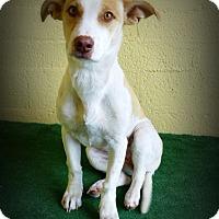 Adopt A Pet :: Gavriella - Casa Grande, AZ