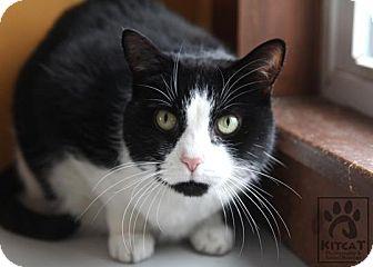Domestic Shorthair Cat for adoption in Lancaster, Massachusetts - Ohso