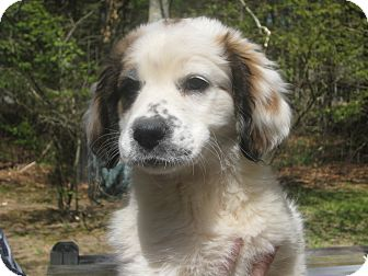 St. Bernard/Hound (Unknown Type) Mix Puppy for adoption in Sudbury, Massachusetts - ELMER - ADOPTION PENDING