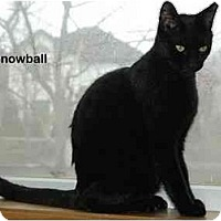 Adopt A Pet :: Snowball - Portland, OR