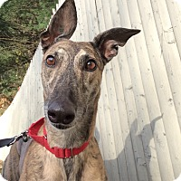 Adopt A Pet :: Gia - Swanzey, NH