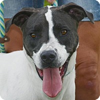 Pointer/Cattle Dog Mix Dog for adoption in Georgetown, Texas - Ari