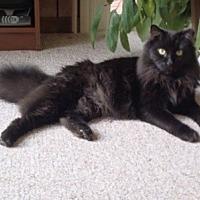 Adopt A Pet :: Felix - Alexandria, VA