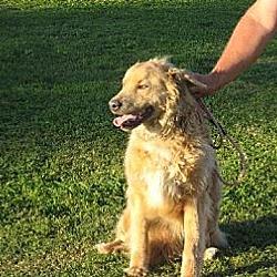 Photo 2 - Golden Retriever/Collie Mix Dog for adoption in Greenville, Rhode Island - Jake