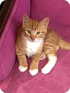 Domestic Shorthair Kitten for adoption in Coopersburg, Pennsylvania - Lana
