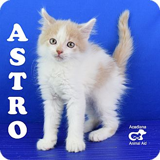 Domestic Mediumhair Kitten for adoption in Carencro, Louisiana - Astro