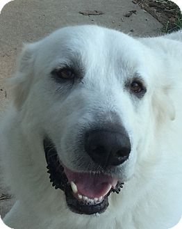 Great Pyrenees Mix Dog for adoption in Bloomington, Illinois - Parker ADOPTION PENDING