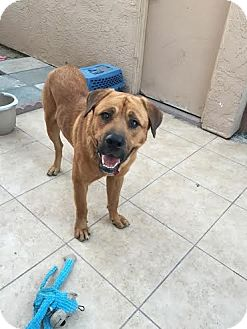 Mastiff Mix Dog for adoption in Beverly Hills, California - BLUTO