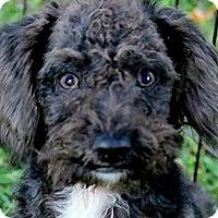 Adopt A Pet :: POOH(ADORABLE