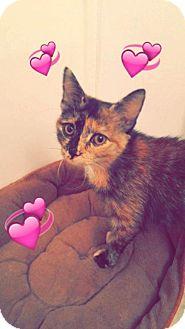 Domestic Shorthair Kitten for adoption in Hampton, Virginia - Half Pint