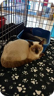 Siamese Cat for adoption in Land O Lakes, Florida - Lance