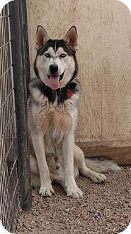 Husky Mix Dog for adoption in Black Forest, Colorado - Togo