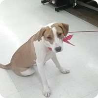 Labrador Retriever/Hound (Unknown Type) Mix Puppy for adoption in Staunton, Virginia - Deidra
