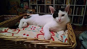 Domestic Shorthair Cat for adoption in Tampa, Florida - Susan Pevensie