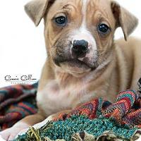 Adopt A Pet :: Apple - Manchester, NH