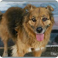 Adopt A Pet :: Lassie - Fallbrook, CA