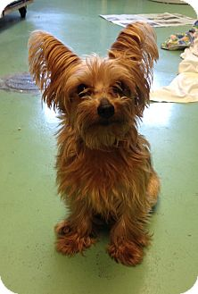 Yorkie, Yorkshire Terrier Dog for adoption in New York, New York - Chloe